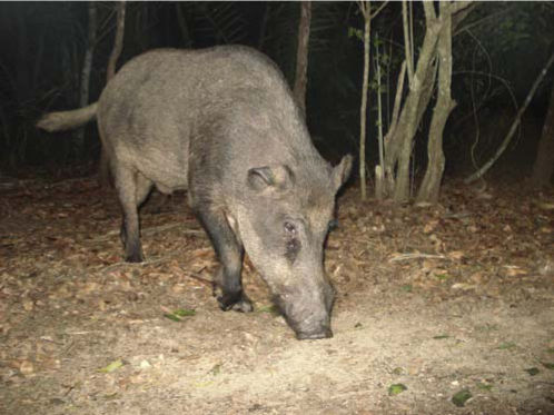Feral pig Sus scrofa from Brazilian Pantanal. Photo