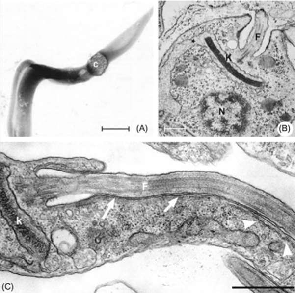 Different views of the kinetoplast and the general organization of the trypomastigote (A), amastigote (B), and epimastigote (C) forms of Trypanosoma cruzi