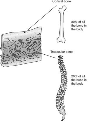 Cortical and trabecular bone. Courtesy of Eli Lilly and Company, Einhorn TA, The Bone Organ System in: Osteoporosis. Eds. Marcus et al. Academic Press 1996.